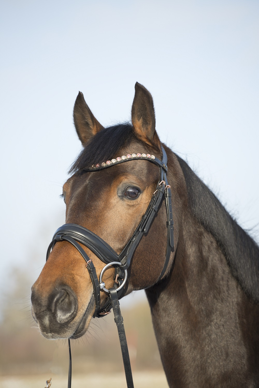 häst med träns